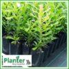 7 litre Tall Planter Bags - Polyethylene Growbags - for more info go to PlanterBags.com.au